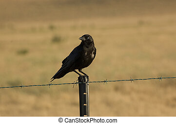perched, cuervo, fencepost