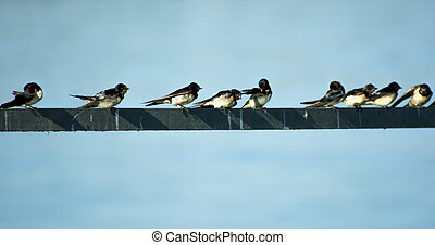 perched, draad, groep, vogels