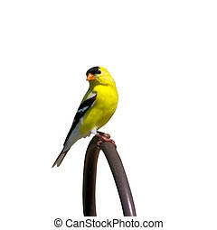 perched goldfinch searches for food in the yard
