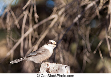 Perched Grey Jay Perisoreus canadensis watching - Whiskey...