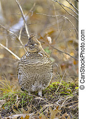 Perched Grouse - Ruffed Grouse perched on a tuft of moss