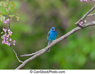 perched indigo bunting in a redbud tree