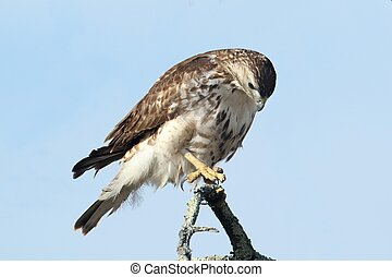 Red-tailed Hawk (buteo jamaicensis) - Perched Juvenile Red-...