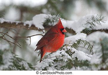 perched, kardinaal, boompje, noordelijk