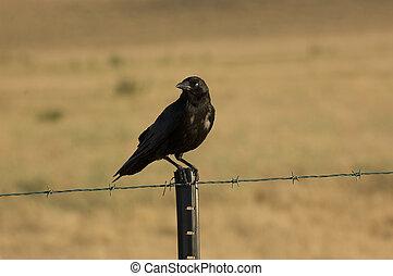 perched, kraai, fencepost
