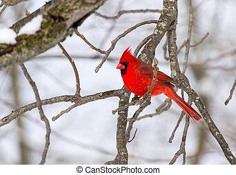 perched, macho, cardinal, norteño
