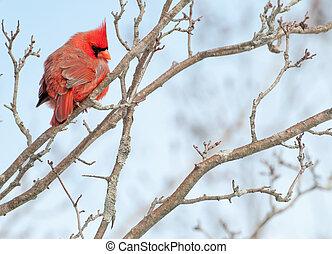 perched, maschio, cardinale