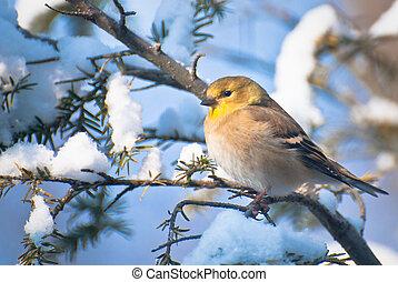 perched, nieve, goldfinch