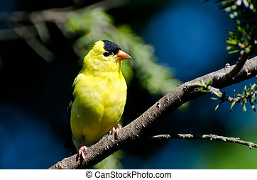 perched, norteamericano, macho, árbol, goldfinch