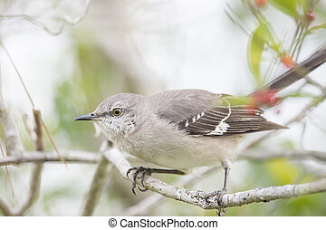 A Northern Mockingbird perches on a small branch with green leaves around it on an overcast day.