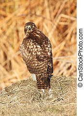 Red-tailed Hawk (buteo jamaicensis) - Perched Red-tailed ...