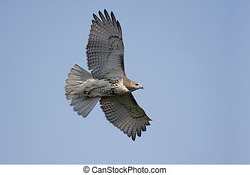 Perched Red-tailed Hawk - Red-tailed Hawk (buteo jamaicensis...