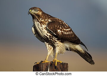 Perched Redtail Hawk - A young Red Tail hawk is perched...