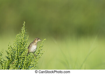 Perched Seaside Sparrow