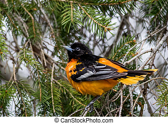perched, sempre-viva, oriole, baltimore