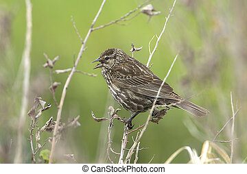Perched song sparrow.