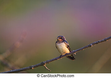 Perched Swallow - A Barn Swallow perched in the early ...