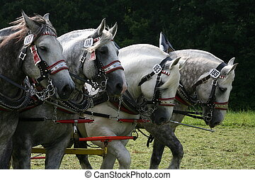 Four beautiful gry and white carriage horses
