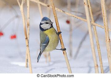 Perching Blue Tit in snowball bush