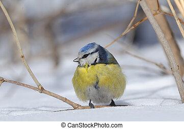 Perching Blue Tit in winter