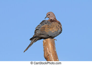 Perching Laughing Dove in Sharm el-Sheikh