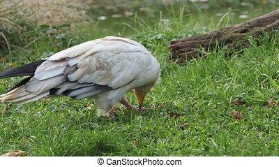 percnopterus), vautour, égyptien, viande, (neophron, larmes, os