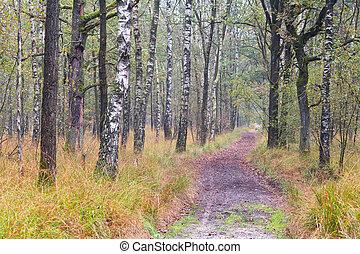 percorso, in, betulla, foresta, durante, autunno