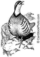 perdrix,  chukar, oiseau