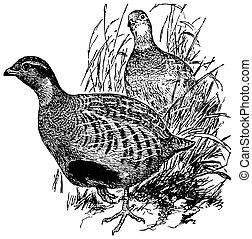 perdrix, daurian, oiseaux