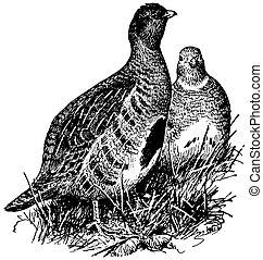 perdrix, oiseau, gris