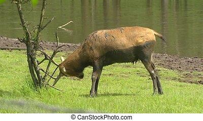 Pere David's Deer (Elaphurus davidianus) in rut scrubs antlers against tree