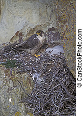 Peregrine, Falco peregrinus, adult on nest with young, UK