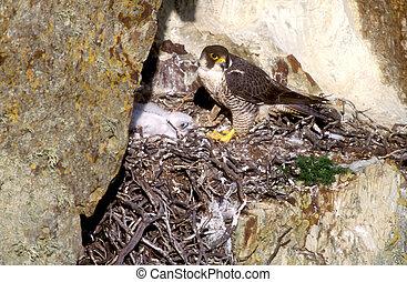 Peregrine, Falco peregrinus, nest, UK