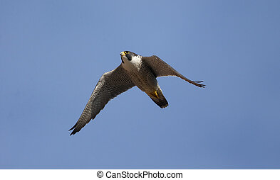 Peregrine, Falco peregrinus, single bird in flight, ...