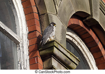 Peregrine, Falco peregrinus, single bird on building, ...