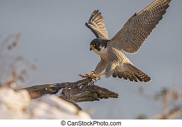 Peregrine Falcon along the Hudson River in New Jersey.