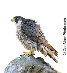 peregrine, falcon.