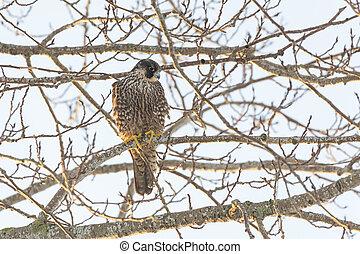 Peregrine Falcon bird at Richmond BC Canada