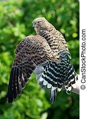 Peregrine Falcon Bird - Peregrine falcon with it's wings ...