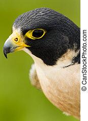 Peregrine Falcon - Close up of peregrine falcon in captivity...