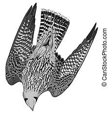 Peregrine Falcon - Falco peregrinus - Duck Hawk - diving