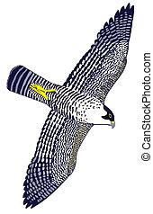 Peregrine Falcon - Falco peregrinus - Duck Hawk