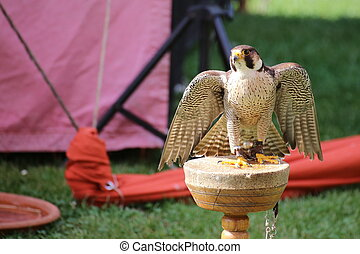 Peregrine falcon (Falco peregrinus) sitting on a wooden platform