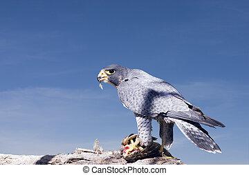 Peregrine Falcon - Falcon feeding on a tree branch