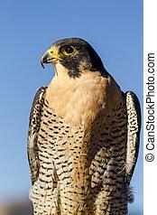 Peregrine Falcon in Autumn Setting - Peregrine Falcon ...