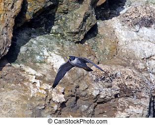 Peregrine Falcon in flght - Peregrine Falcon bird in flight ...