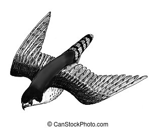 Peregrine Falcon in flight - Pen and Ink drawing of a...