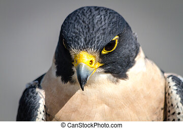 Peregrine Falcon looking down from a tree branch