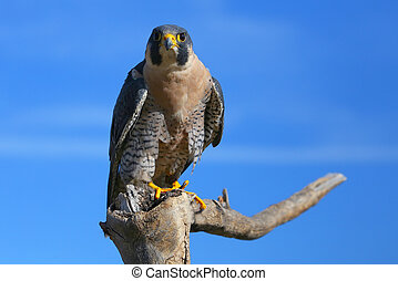 Peregrine falcon sitting on a stick