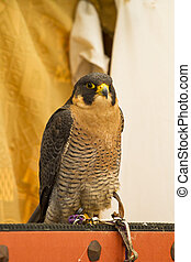 peregrine, falcon